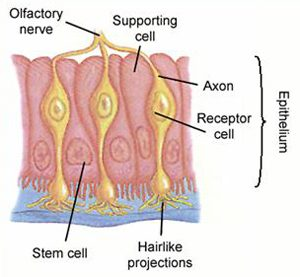 Olfactory Neurons & Epithelium